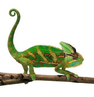 chameleon Anpassungsfähig sein
